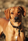 Rhodesian ridgeback autumn portrait. Nice rhodesian ridgeback in autumn light Stock Image