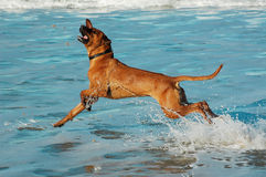 Rhodesian Ridgeback on beach. A Rhodesian Ridgeback dog jumps out of the water on a beach in South Africa Stock Photos