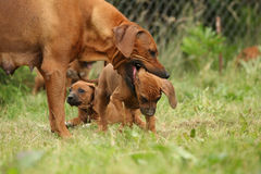 Rhodesian ridgeback bitch with puppy Royalty Free Stock Photography