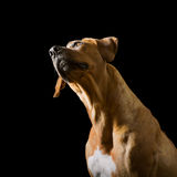 Rhodesian Ridgeback on the black background Stock Photography