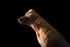 Rhodesian Ridgeback on the black background Stock Images