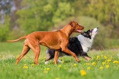 Rhodesian ridgeback and Border Collie outdoors. Rhodesian ridgeback and Border Collie playing in the meadow Royalty Free Stock Image