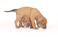 Rhodesian Ridgeback Buddies, 5 Weeks Old, Playing Stock Photo