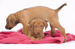 Rhodesian Ridgeback Buddies, 6 Weeks Old, Playing Stock Images