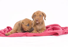 Rhodesian Ridgeback buddies, 6 weeks old, playing. Two adorable Rhodesian Ridgeback puppies lying together on a pink blanket. Image showes a livernose and a Royalty Free Stock Photography