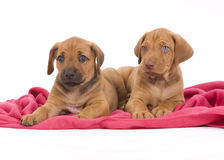 Rhodesian Ridgeback buddies, 6 weeks old, playing Stock Photography