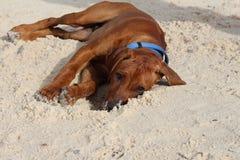 Rhodesian Ridgeback che si trova in sabbia Immagine Stock