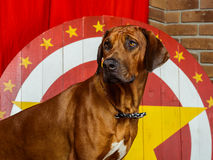 Rhodesian Ridgeback circus actor in front of a star target. Portrait of Rhodesian Ridgeback circus actor in front of a star target Stock Photos
