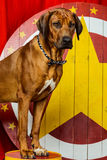 Rhodesian Ridgeback circus actor in front of a star target. Standing on a drum Royalty Free Stock Photo