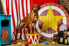Rhodesian Ridgeback circus actor in front of a target. Rhodesian Ridgeback circus actor standing on a drum in front of a target royalty free stock images