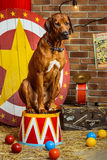 Rhodesian Ridgeback circus actor sitting on a drum. In front of target Stock Photography