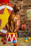 Rhodesian Ridgeback circus actor sitting on a drum Stock Photography