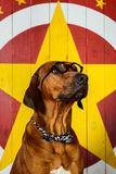 Rhodesian Ridgeback circus actor wearing eyeglasses Royalty Free Stock Image