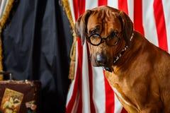 Rhodesian Ridgeback circus actor wearing eyeglasses Stock Photos