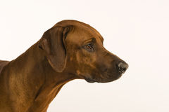 Rhodesian Ridgeback Close up Royalty Free Stock Photos