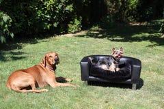 Rhodesian Ridgeback con Yorkshire Terrier Imagen de archivo libre de regalías
