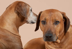 Rhodesian Ridgeback couple. Portrait of two beautiful Rhodesian Ridgeback dogs lying together. The younger male in front is looking straight into the camera. The Stock Images