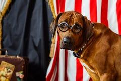 Rhodesian Ridgeback cyrkowy aktor jest ubranym eyeglasses Zdjęcie Stock