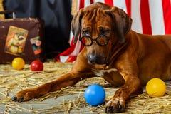 Rhodesian Ridgeback cyrkowy aktor jest ubranym eyeglasses Obraz Stock
