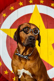 Rhodesian Ridgeback cyrkowy aktor jest ubranym eyeglasses przed Obrazy Stock
