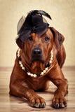 Rhodesian Ridgeback dama ubierał w czarnego kapeluszu i perły kolii Obraz Royalty Free