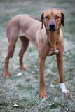 Rhodesian ridgeback dog Stock Photos
