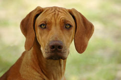 Rhodesian Ridgeback dog Stock Images