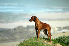 Rhodesian Ridgeback dog. A proud red wheaten Rhodesian Ridgeback hound dog standing on top of a sand dunes watching other dogs on the beach stock image