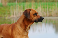 Rhodesian Ridgeback Dog. Looking out over a pond Stock Photos