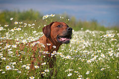 Rhodesian Ridgeback dog. In field of chamomiles Royalty Free Stock Photography
