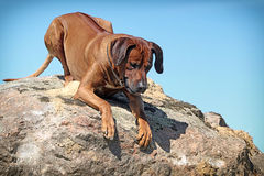 Rhodesian Ridgeback dog. Lie down on a rock Stock Photography