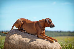 Rhodesian Ridgeback dog. Lie down on a rock Stock Images