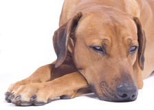 Rhodesian Ridgeback dog,3 years, snoozing Royalty Free Stock Images