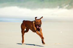 Rhodesian Ridgeback dog. Healthy Rhodesian ridgeback dog running on sandy beach with sea and surf in background Stock Image