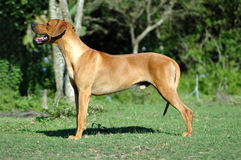 Rhodesian Ridgeback dog Royalty Free Stock Photos