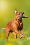 Rhodesian Ridgeback dog apportiert Stock Images