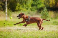 Rhodesian Ridgeback dog Stock Photography