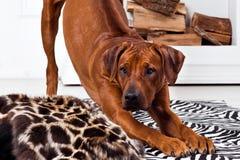 Rhodesian Ridgeback dog bending. In front of a fireplace Royalty Free Stock Image