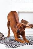 Rhodesian Ridgeback dog bending with its ridge revealed. Rhodesian Ridgeback dog bending in front of a fireplace with its ridge revealed Royalty Free Stock Photo