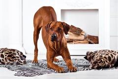 Rhodesian Ridgeback dog bending with its ridge revealed. Rhodesian Ridgeback dog bending in front of a fireplace with its ridge revealed Royalty Free Stock Images
