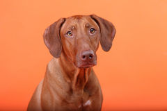 Rhodesian Ridgeback dog breed Royalty Free Stock Images