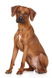 Rhodesian Ridgeback dog breed Stock Photos