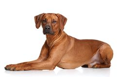 Rhodesian Ridgeback dog breed Stock Photo