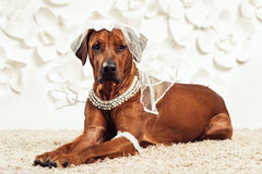 Rhodesian Ridgeback dog-bride in front of flower background. Rhodesian Ridgeback dog dressed like bride lying in front of a flower background Royalty Free Stock Photography