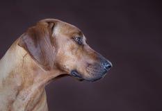 Rhodesian ridgeback dog. Brown rhodesian ridgeback dog portrait in studio Stock Images