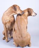 Rhodesian ridgeback dog couple, 4 and 8 years old stock image