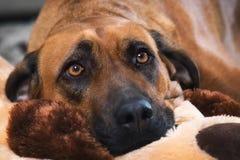 Rhodesian ridgeback dog Royalty Free Stock Photography
