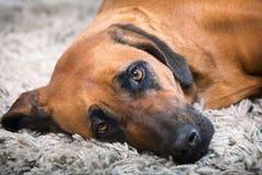 Rhodesian ridgeback dog Royalty Free Stock Images