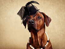 Rhodesian Ridgeback dog dressed in a hat and necklace. Full face portrait of Rhodesian Ridgeback lady dressed in a black hat and a pearl necklace looking up on a Stock Photography