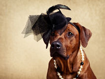 Rhodesian Ridgeback dog dressed in a hat and necklace. Rhodesian Ridgeback lady dressed in a black hat and a pearl necklace on a golden background Royalty Free Stock Photography